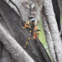 Ichneumonidae sp. (family) (Unidentified ichneumon wasp) at Namadgi National Park - 23 Mar 2019 by JohnBundock