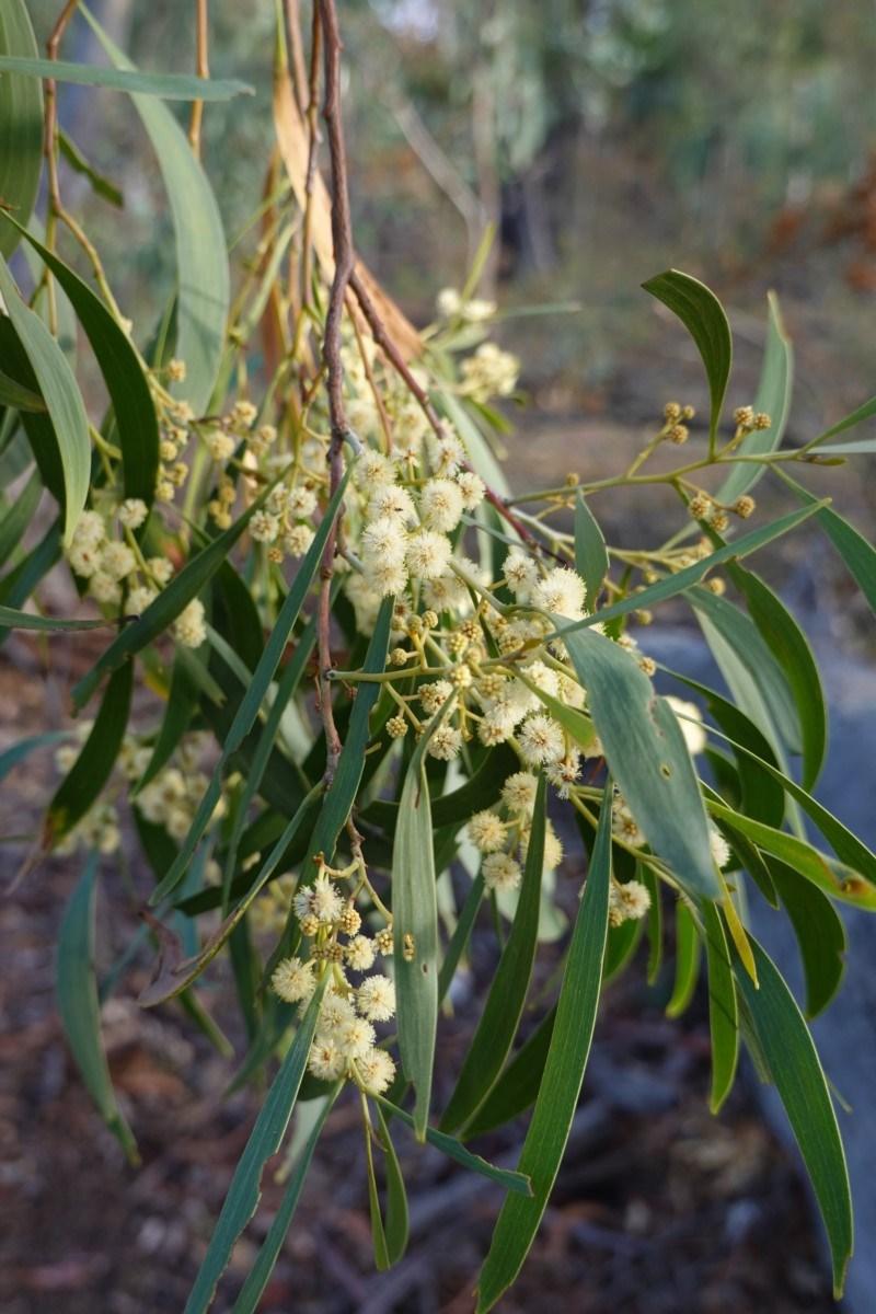 Acacia implexa at Red Hill Nature Reserve - 23 Mar 2019