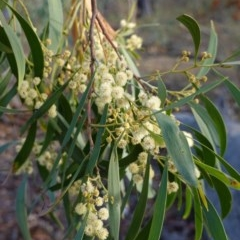 Acacia implexa (Hickory Wattle) at Red Hill Nature Reserve - 23 Mar 2019 by JackyF