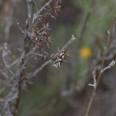 Epithymema incomposita at Illilanga & Baroona - 17 Mar 2019