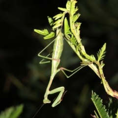 Pseudomantis albofimbriata (False garden mantis) at Mount Ainslie - 6 Mar 2019 by jbromilow50