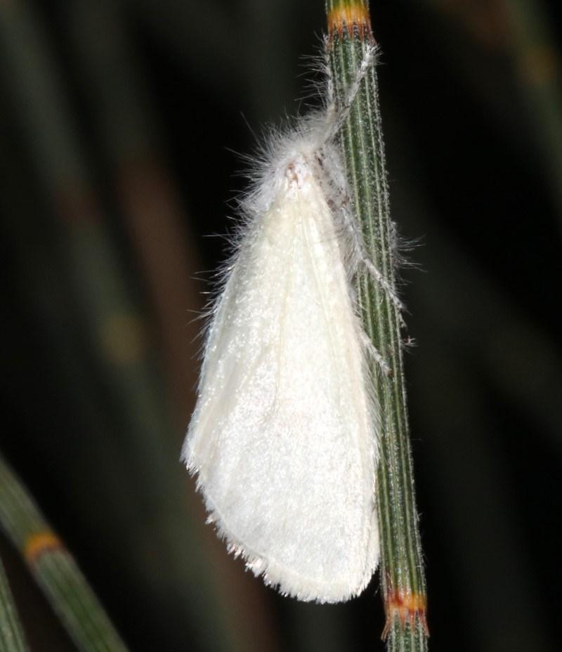 Lymantriinae (subfamily) at Ainslie, ACT - 6 Mar 2019