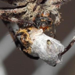 Milichiidae (family) at ANBG - 22 Mar 2019