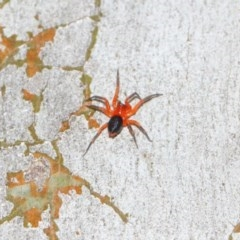 Nicodamidae sp. (family) (Red and Black Spider) at ANBG - 22 Mar 2019 by TimL
