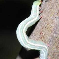 Chlenias (genus) (A looper moth) at Ainslie, ACT - 6 Mar 2019 by jbromilow50