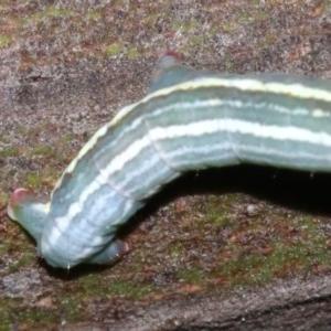 Chlenias (genus) at Ainslie, ACT - 6 Mar 2019