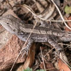 Amphibolurus muricatus (Jacky Lizard) at Paddys River, ACT - 20 Mar 2019 by SWishart
