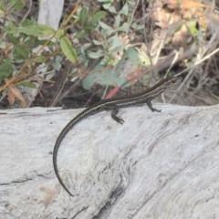 Pseudemoia spenceri (Spencer's Skink) at Namadgi National Park - 24 Mar 2019 by AndrewCB