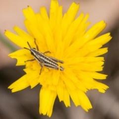 Monistria concinna (Southern Pyrgomorph, Southern Gaudy Grasshopper) at Tidbinbilla Nature Reserve - 20 Mar 2019 by SWishart