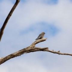 Artamus cyanopterus (Dusky Woodswallow) at Bowning, NSW - 17 Nov 2018 by Cricket