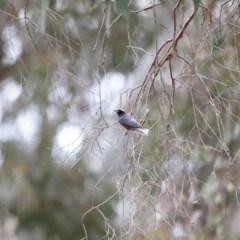 Artamus superciliosus (White-browed Woodswallow) at Bowning, NSW - 17 Nov 2018 by Cricket