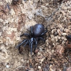 Hexathelidae sp. (family) (Funnelweb spider) at Namadgi National Park - 23 Mar 2019 by AndrewCB
