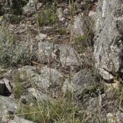Cymbopogon refractus at Illilanga & Baroona - 12 Jan 2019