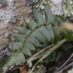 Pellaea calidirupium (Hot rock fern) at Illilanga & Baroona - 17 Mar 2019 by Illilanga
