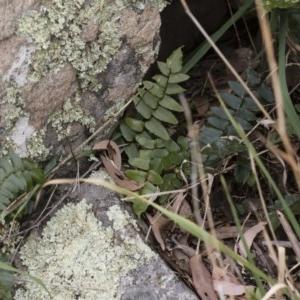 Pellaea calidirupium at Illilanga & Baroona - 17 Mar 2019