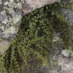 Asplenium flabellifolium (Necklace fern) at Illilanga & Baroona - 17 Mar 2019 by Illilanga