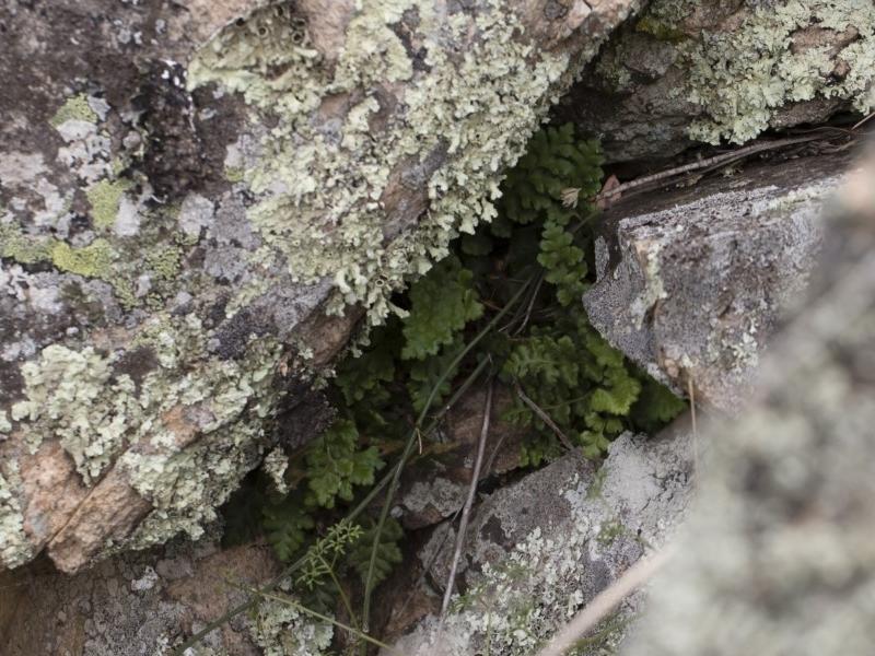 Pleurosorus rutifolius at Illilanga & Baroona - 17 Mar 2019