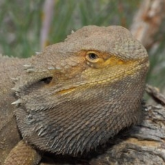 Pogona barbata (Eastern Bearded Dragon) at ANBG - 17 Mar 2019 by Tim L