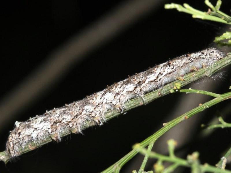 Lasiocampidae (family) immature at Ainslie, ACT - 6 Mar 2019