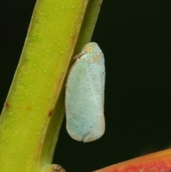 Anzora unicolor (Grey Planthopper) at ANBG - 17 Mar 2019 by TimL