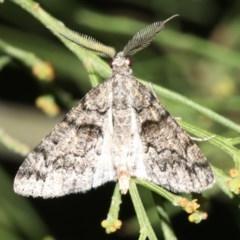 Lipogya exprimataria (Jagged Bark Moth) at Mount Ainslie - 6 Mar 2019 by jbromilow50