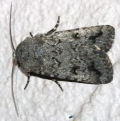 Proteuxoa capularis at Ainslie, ACT - 7 Mar 2019