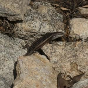 Carlia tetradactyla at Michelago, NSW - 22 Mar 2019