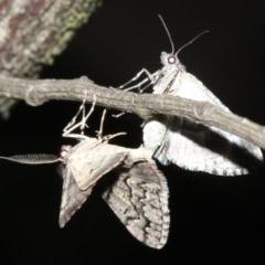 Lipogya exprimataria (Jagged Bark Moth) at Mount Ainslie - 10 Mar 2019 by jbromilow50