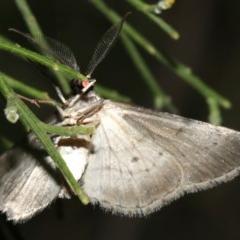 Phelotis cognata (Long-fringed Bark Moth) at Mount Ainslie - 10 Mar 2019 by jbromilow50