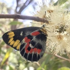 Delias harpalyce (Imperial Jezebel) at ANBG - 15 Feb 2019 by PeterR