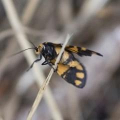 Asura lydia (Lydia Lichen Moth) at Michelago, NSW - 30 Dec 2018 by Illilanga