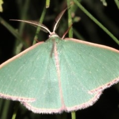 Chlorocoma undescribed species MoVsp3 at Mount Ainslie - 24 Mar 2019 by jbromilow50