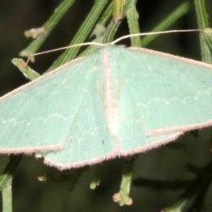 Chlorocoma (genus) (Emerald moth) at Ainslie, ACT - 24 Mar 2019 by jbromilow50