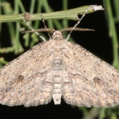 Ectropis excursaria (Common Bark Moth) at Mount Ainslie - 10 Mar 2019 by jbromilow50
