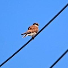 Falco cenchroides (Nankeen Kestrel) at Jerrabomberra Wetlands - 26 Mar 2019 by RodDeb