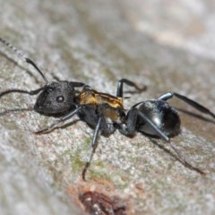 Polyrhachis ornata at ANBG - 26 Mar 2019