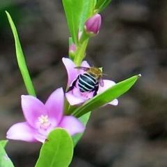 Amegilla sp. (Blue-banded Bee) at Conjola, NSW - 14 Mar 2019 by Margieras