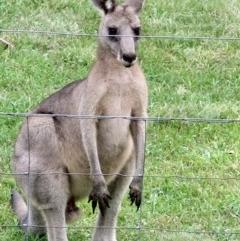 Macropus giganteus (Eastern Grey Kangaroo) at Conjola, NSW - 30 Jan 2019 by Margieras