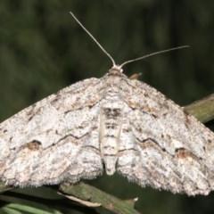 Ectropis (genus) (An engrailed moth) at Mount Ainslie - 24 Mar 2019 by jbromilow50
