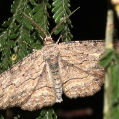Ectropis excursaria (Common Bark Moth) at Mount Ainslie - 25 Mar 2019 by jbromilow50