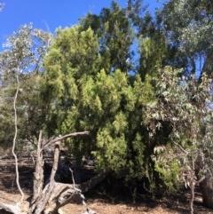 Exocarpos cupressiformis (Cherry Ballart) at Mount Ainslie - 27 Mar 2019 by jbromilow50