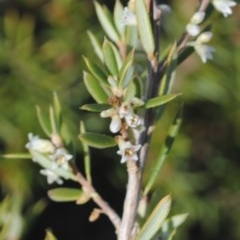 Monotoca scoparia (Broom Heath) at South Pacific Heathland Reserve - 17 May 2011 by NicholasdeJong