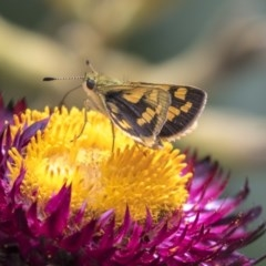 Ocybadistes walkeri (Greenish Grass-dart) at ANBG - 21 Feb 2019 by AlisonMilton