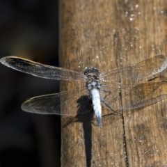 Orthetrum caledonicum (Blue Skimmer) at ANBG - 21 Feb 2019 by AlisonMilton