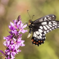 Papilio anactus (Dainty Swallowtail) at ANBG - 21 Feb 2019 by AlisonMilton