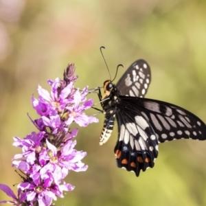 Papilio anactus at ANBG - 21 Feb 2019