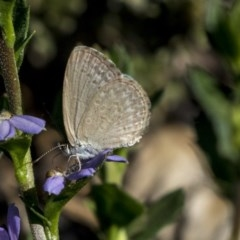 Zizina otis (Common Grass-blue) at ANBG - 21 Feb 2019 by AlisonMilton