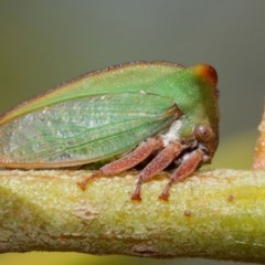 Sextius virescens (Acacia Tree Hopper, Acacia Horned Treehopper) at ANBG - 27 Mar 2019 by TimL