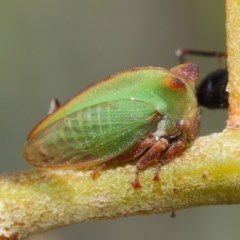 Sextius virescens at ANBG - 27 Mar 2019