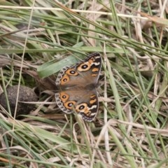 Junonia villida (Meadow Argus) at Illilanga & Baroona - 17 Mar 2019 by Illilanga